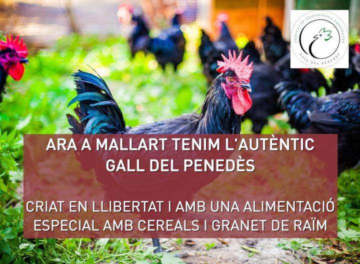 gall_penedes_mallar_mas_alborna